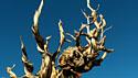 Bristelcone Pine 2