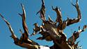 Bristelcone Pine 3