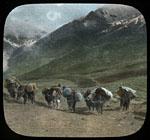 Yacks climbing, Sanju Pass
