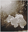 Orchids in Early Morning - Sepia