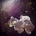 Orchids in Early Morning - Color
